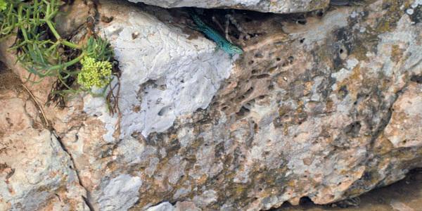 La lagartija de Formentera